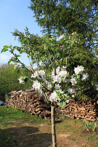 看你可爱的苹果树生长.